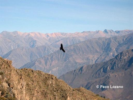 Cóndor en el Cañón del Colca (los Andes, Perú)