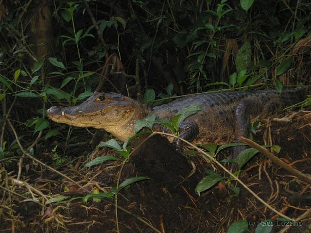 Caimán en Tortuguero, Costa Rica