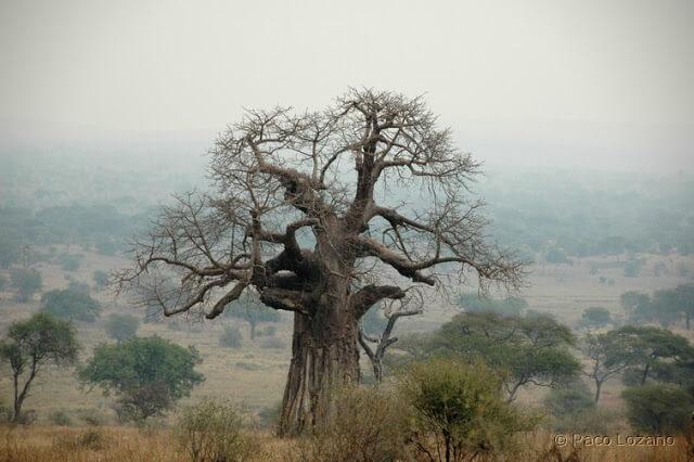 El baobab y la niebla en Tarangire, Tanzania