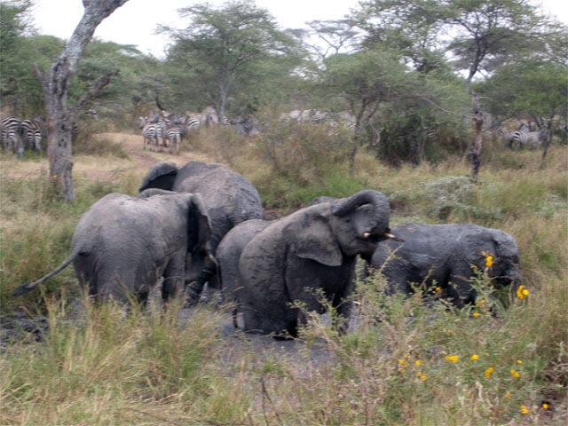 Piscina de elefantes en el Serengeti