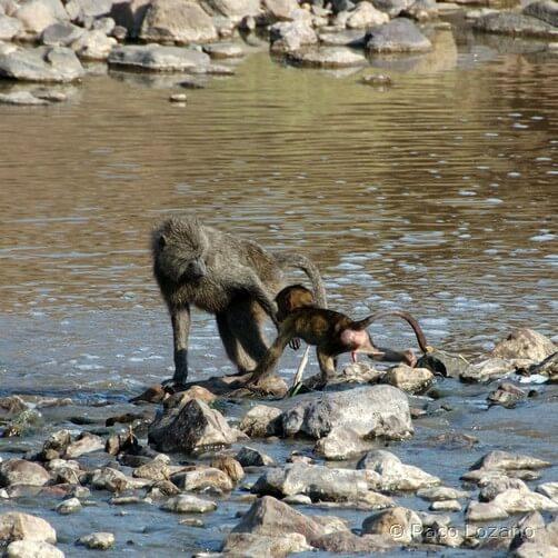 Babuinos cruzando el río