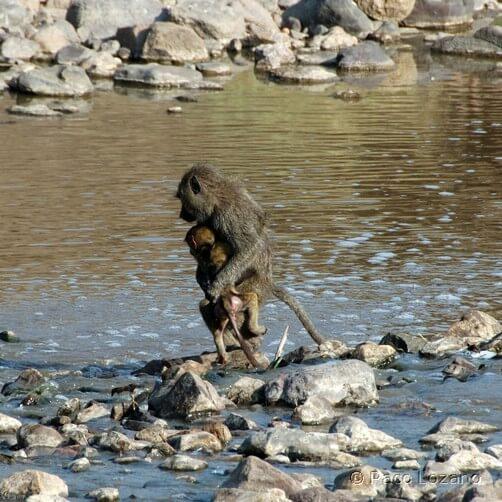 Cruzando el río en el Serengeti
