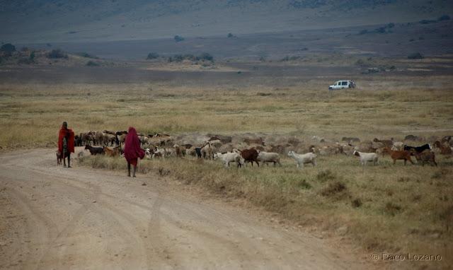 Rebaño masai en el cráter del Ngorongoro