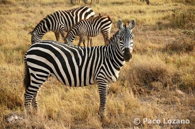 Cebras en Amboseli
