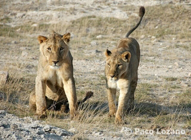 Leones en Amboseli