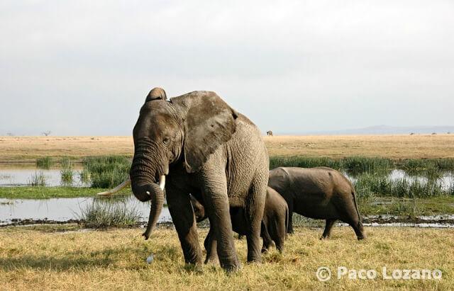 Elefantes en Amboseli