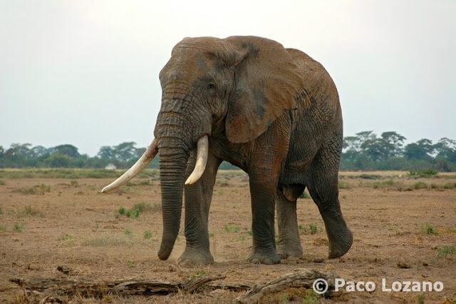 Elefante africano en Amboseli