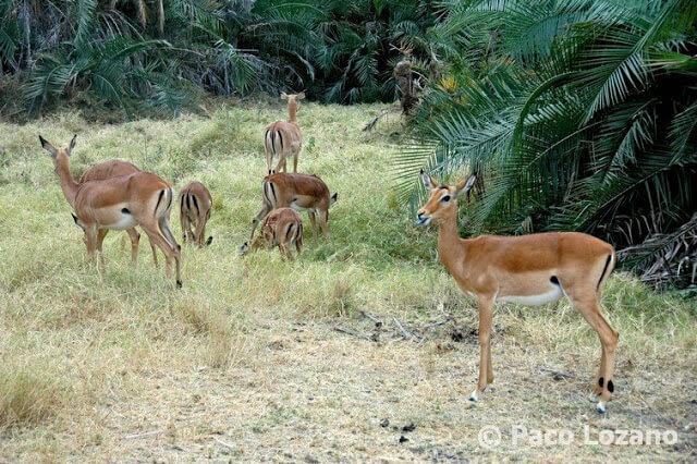 Gacelas en el Parque Nacional Amboseli