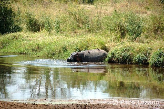 El baño del hipopótamo en el Serengeti