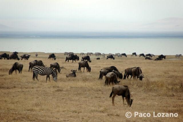 Ñus y cebras en el Ngorongoro