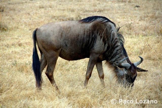 Ñu en el Ngorongoro