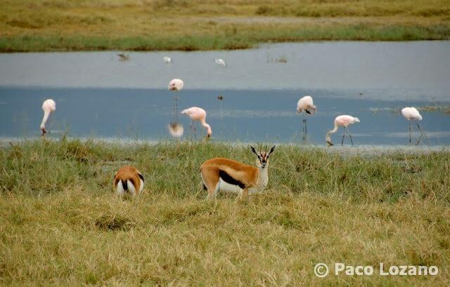 Gacelas de Thomson en el Ngorongoro