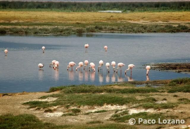 Flamencos rosas en el Ngorongoro, Tanzania