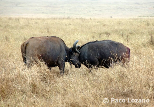 Pelea de búfalos en Ngorongoro