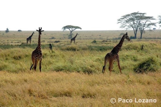 Jirafas en el Serengeti, Tanzania