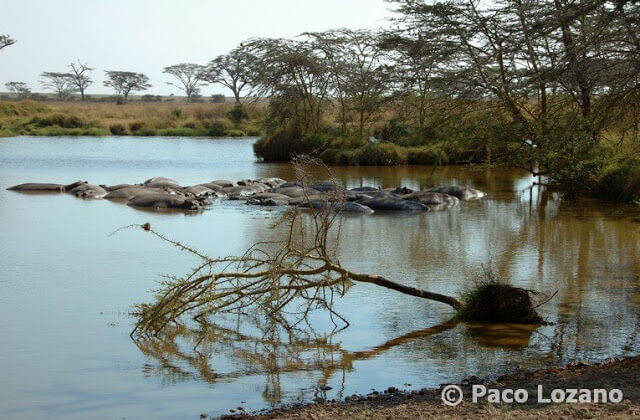 Hipopótamos en el Serengeti, Tanzania