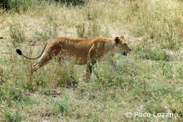 Leona en el Serengeti