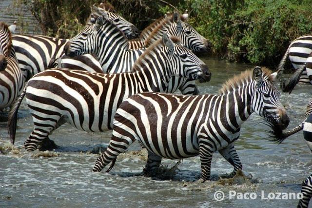 Cebras en un río del Serengeti