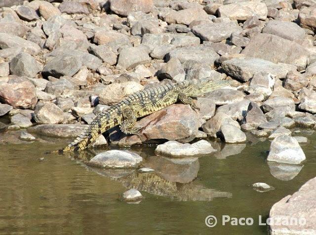 El reflejo del cocodrilo en el Serengeti