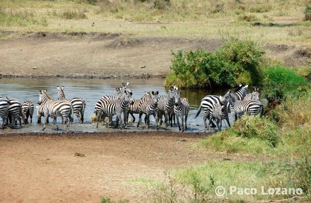 Cebras bebiendo en el río en el Serengeti