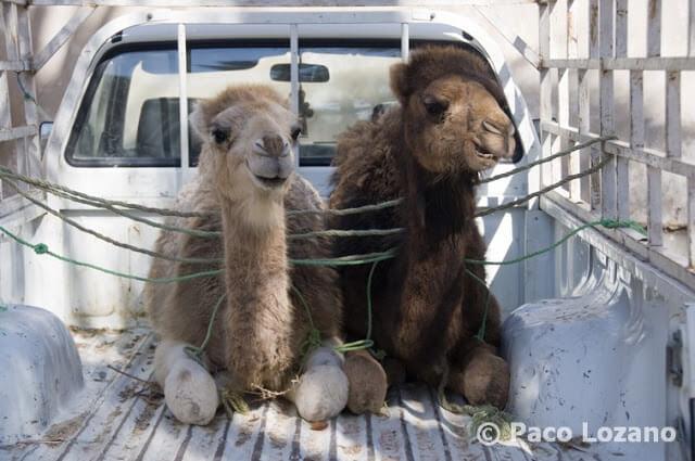 Camellos en el zoco de Douz, Túnez